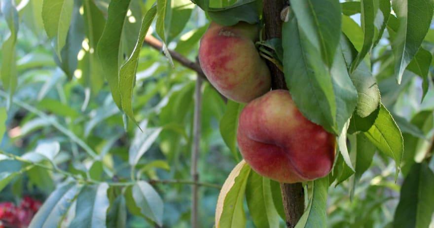 צילום של אפרסק פיתה בגינה